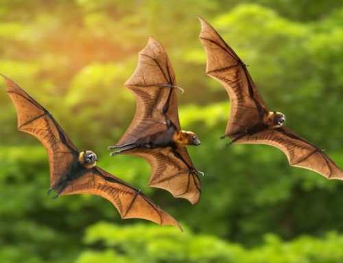 Can Bats Help Control Mosquitoes?